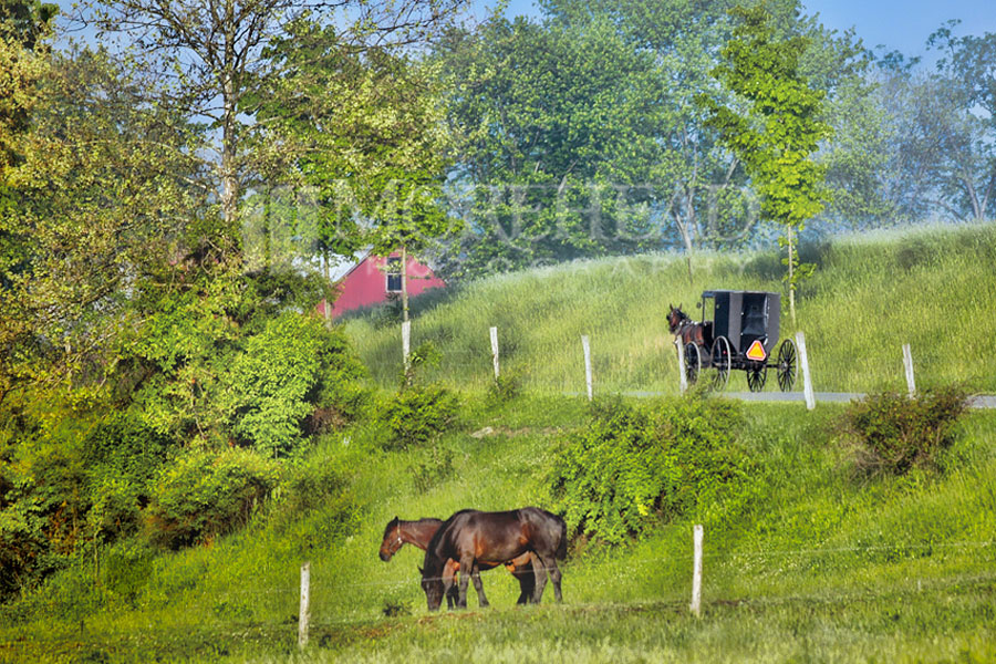 An Amish Morning Stroll
